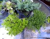 50 Sedums assorted cuttings-Angelina-Coral carpets-Gold Moss-Baby Tears-Lemon Ball-Hen and Chicks-Autum Joy
