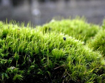 Frog Moss-Live Dicranum Moss- Mood Moss Gallon Bag full LIVE Green Mood-Frog Moss-Live Moss for Terrariums and Vivariums