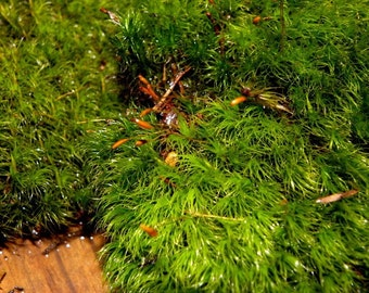 5 Gallon Bags of Mood Moss-Frog Moss-Live Moss for Terrariums and Vivariums-dicranum moss-Broom moss