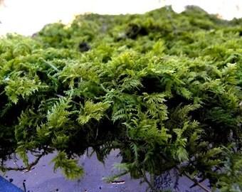 Bulk Box of Live Delicate Fern Moss-Thuidium moss Great for terrariums and Vivariums-5 gallon bags of Sheet Moss