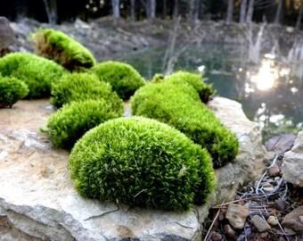 Terrarium Moss-Live Moss-5 gallon bags of Mood Moss-Frog Moss-Live Moss for Terrariums and Vivariums