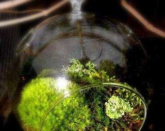 Hanging Glass Globe DIY Moss Terrarium Kit-Live Assorted Moss -Lichens & Glass ball included-Wedding Decor