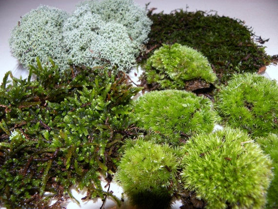 Live Moss Quart Bag Of 4 Moss Varieties