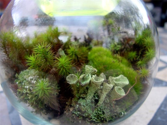 Woodland Fern - Mini Terrarium kit - Moss-lichens-rocks
