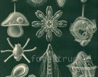 "Poster Size Reproduction of Sea Larvae 1. Original published in 1895. 24"" x 20"""