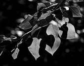 Cottonwood Leaves (Back-lit) - A delicate study in shadow and light  -       8 x 12 Fine Art Black and White Photograph