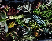 50 Succulent Cuttings with Rooting Powder for Wedding Favors, Centerpieces, Bouquets, Wreaths, Flat Panel Living Walls
