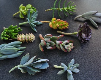 100 Succulent Cuttings with Rooting Powder for Wedding Favors, Centerpieces, Bouquets, Wreaths, Flat Panel Living Walls