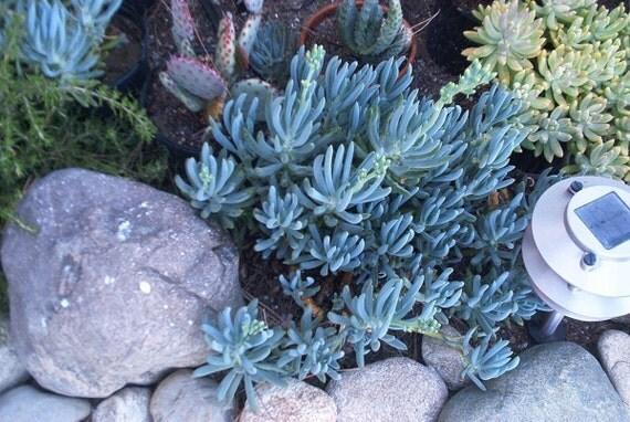 Senecio Mandraliscae Blue Chalk Sticks 3 Succulent