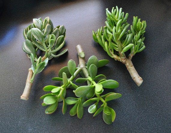 Jade Cuttings Collection - Large Succulent Plant Cuttings - Perfect for Bonsai