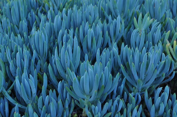 Chalk Sticks - 3 Senecio Mandraliscae Succulent Plant Cuttings