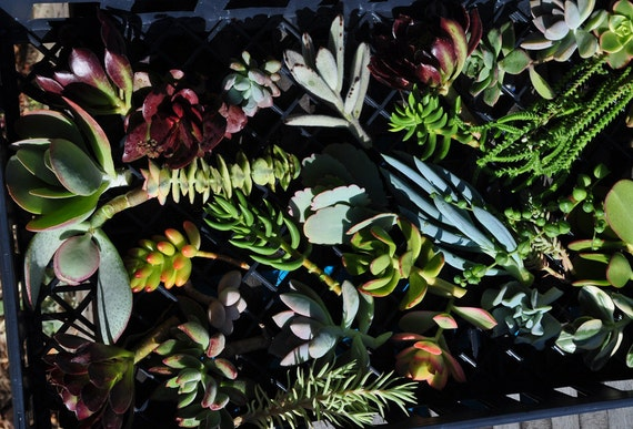 25 Succulent Cuttings with Rooting Powder for Wedding Favors, Centerpieces, Bouquets, Wreaths, Flat Panel Living Walls