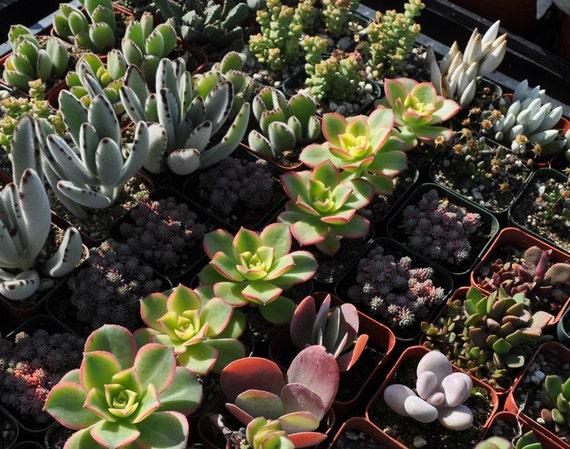 12 Succulent Plant Wedding Centerpieces Favors Bouquets