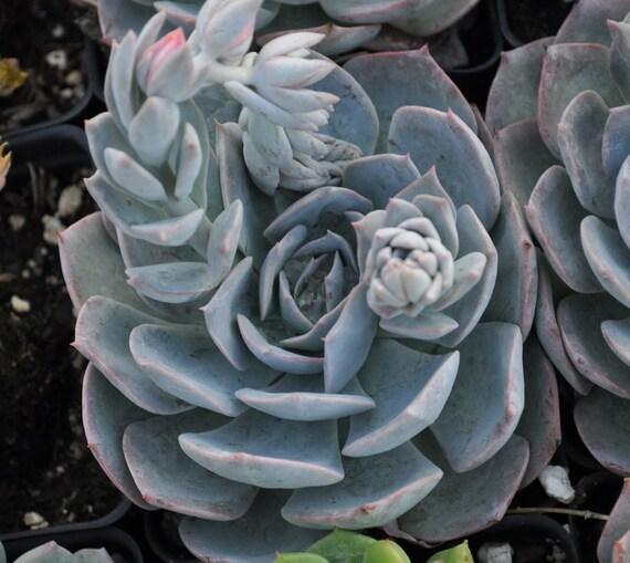 Echeveria subsessilis succulent plant