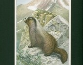 Natural History Wild Animal Hoary Marmot or Whistler 1918 Vintage Print