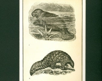1907 Indian Manatee Natural History Antique Print