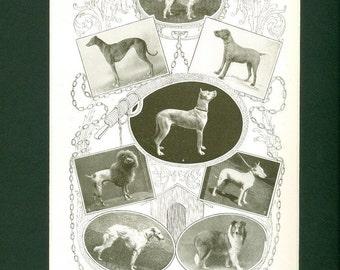 1907 Antique Dog Breeds II - Print