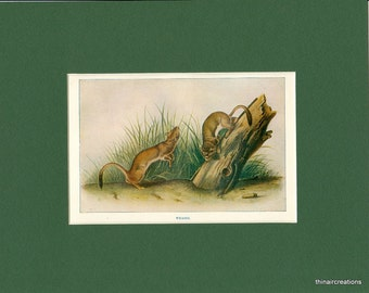 Weasel Natural History Antique 1900 Wild Animal Print