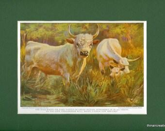 Vintage Farm Animal 1925 Wild White or Park Cattle Print