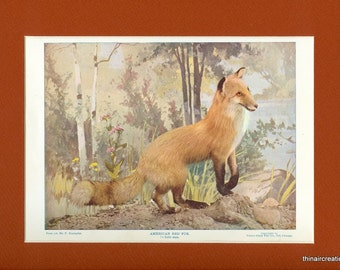 1898 American Red Fox Natural History Wild Animal Antique Print