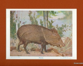 1898 Peccary Natural History Wild Animal Antique Print