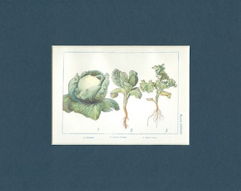 Circa 1908 Antique Farm Print of Cabbage and Curly Green Plants