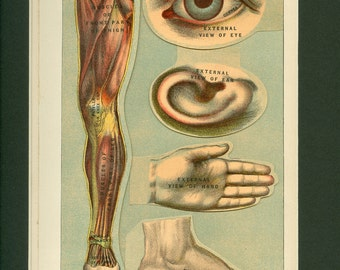 Antique Medical Illustration of Human Body Parts Multi-layer 1901 Print