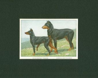1919 Vintage Manchester Terrier and Doberman Pinscher Dog Print
