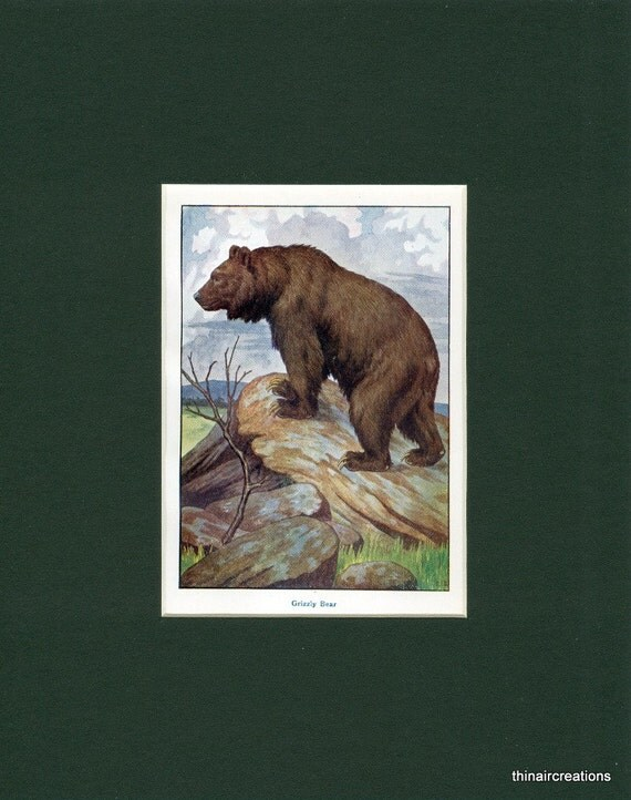 Natural History Grizzly Bear Wild Animal Antique Print circa 1900's