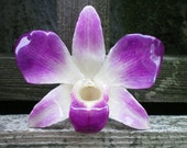 REAL Natural Magenta Purple and Cream ORCHID Pin and Pendant