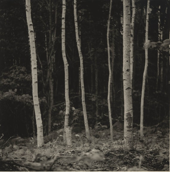 Birch Trees Silver Gelatin Photograph 6 x 7 in.