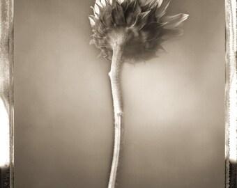 Sunflower Study 02, Still life,  Flower,  Black and White Sunflower