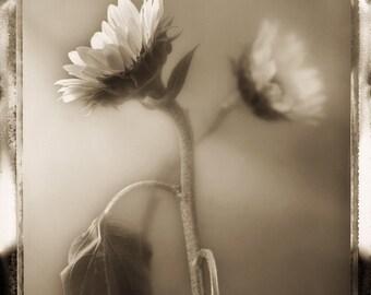 Sunflower Study 03