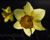 Spring daffodil flower print - Yellow You choose size 8x10, 10x10, 16x20, 11x14, 20x30