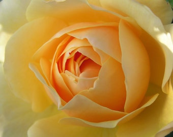 Yellow Rose Print Graham Thomas rose old fashioned rose home decor new zealand print nz flower photo floral photography rose print wall art