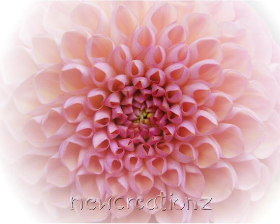 Pink Chrysanthemum photo, macro floral print, pink flower decor, pink petals print, feminine home decor, pastel wall art, nursery wall art