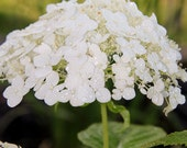 SALE: Beautiful Fine Art Photographs set of three 8x10 glossy professional prints. White Hydrangea Flowers