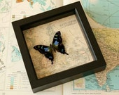 Butterfly mounted on replica historic map - Purple Mountain Swallowtail