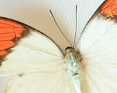 Great Orange Tip Real Framed Butterfly