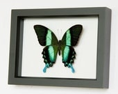 Peacock Swallowtail Butterfly Display - Museum Quality