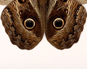 Owl Butterfly - Framed Insect Shadowbox Display