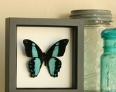 African Blue Green Swallowtail Insect Art Display
