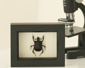 Real Scarab Beetle Display Museum Quality Insect Frame