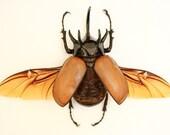 Rhinoceros Beetle Framed Museum Display - Eupatorus gracilicornis
