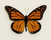 Framed Monarch butterfly in museum display