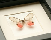 Pink Glasswing Framed Butterfly Museum Quality