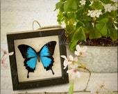 Blue Papilio Ulysses Framed Butterfly Display