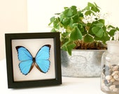 Blue Morpho Butterfly Real Butterfly Display