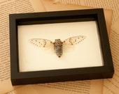 Framed Winged Ghost Cicada Display
