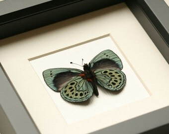 Butterfly Taxidermy Charles Darwin Real Butterfly Display F1058
